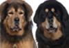 mastiffs bullmastiffs south african boerboel mastiffs tibetan mastiffs