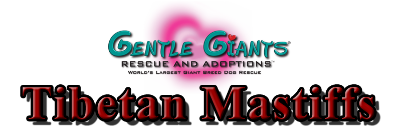 Tibetan Mastiffs At Gentle Giants Rescue And Adoptions