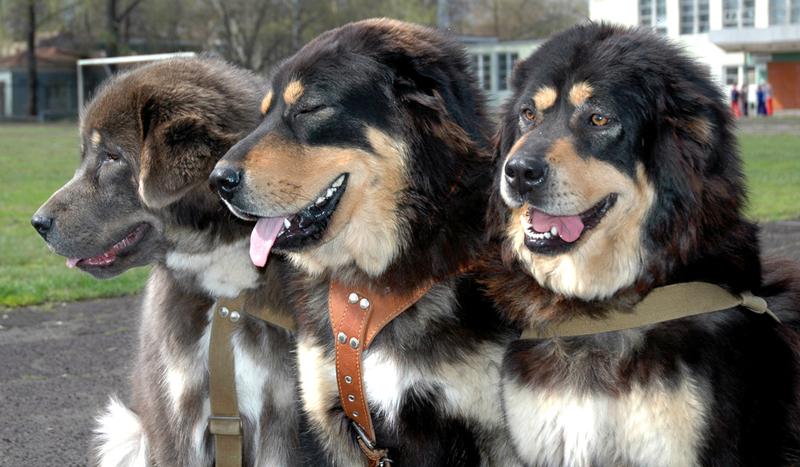 Tibetan Mastiffs At Gentle Giants